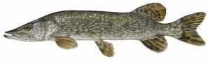 northernpike
